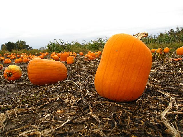Image of pumpkin in Oregon pumpkin patch.