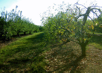 Image of apple trees in an apple orchard.
