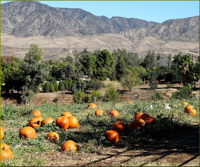 Image of pumpkins in field at Green Spot Farm in California.