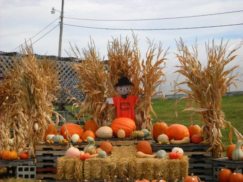 Image of pumpkins and scarecrow at Gritt's Farm.