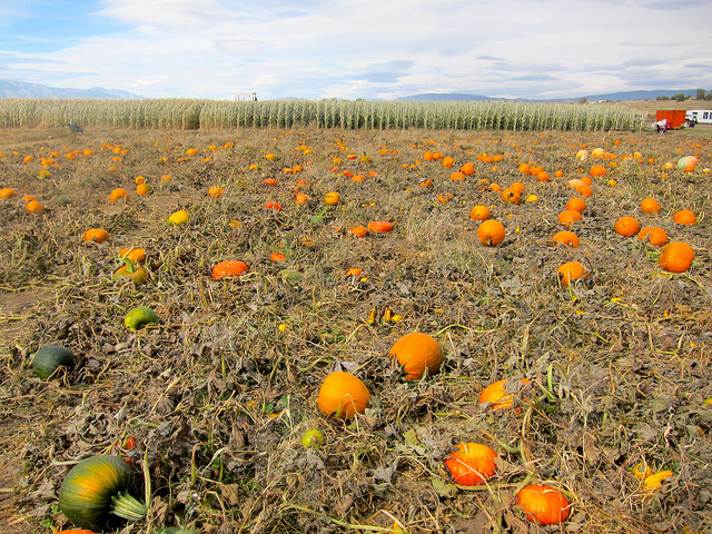 Image of pumpkins in a Nevada pumpkin patch.