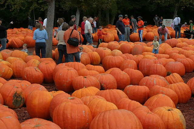 Image of pumpkins at Burts Farm one of Georgia's pumpkin patches.