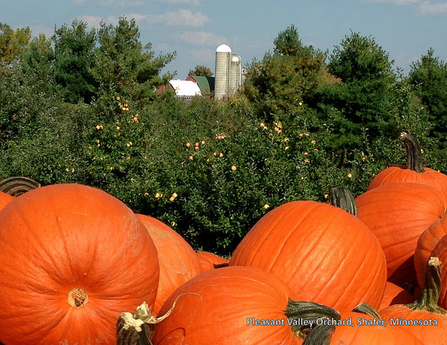 Image of pumpkins at Pleasant Valley Orchards.