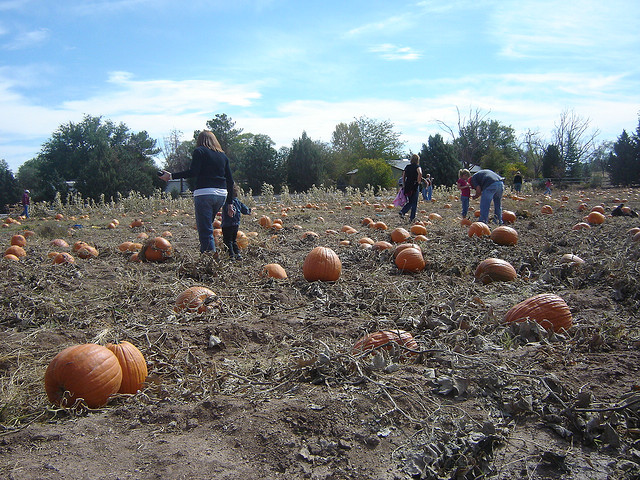 Image of pumpkins on Arizona farm in October.