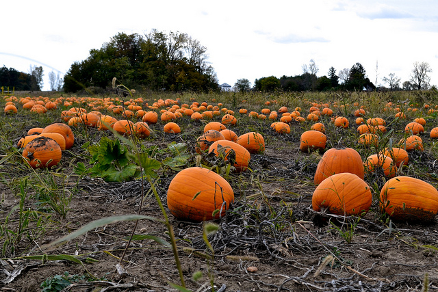 Image of pumpkins at a popular Indiana pumpkin patch this fall.