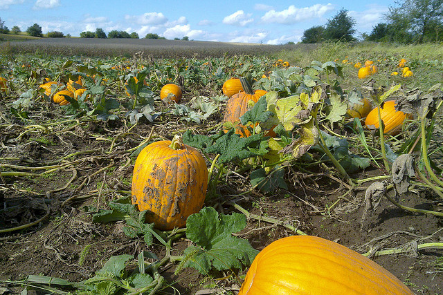 Image of pumpkins on Missouri farm.
