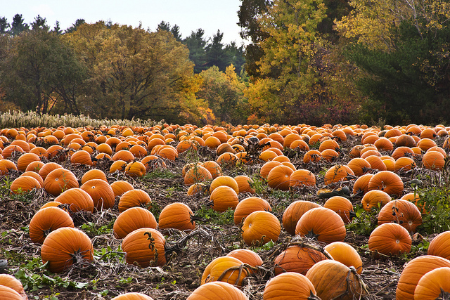 Image of hundreds of pumpkins in a pumpkin patch.