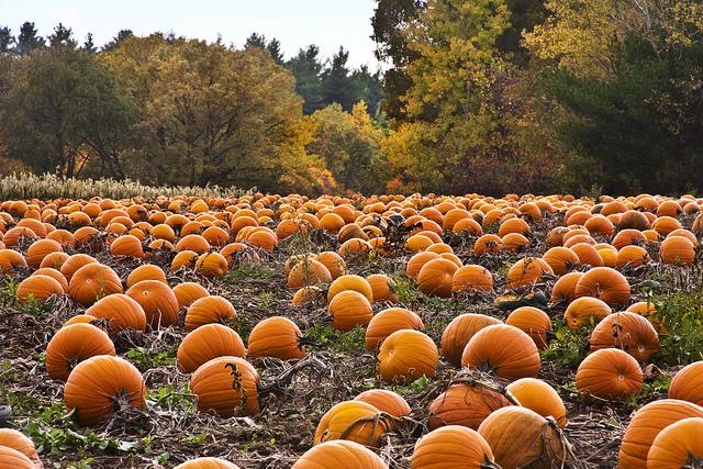 Image of hundreds of pumpkins in a pumpkin patch.