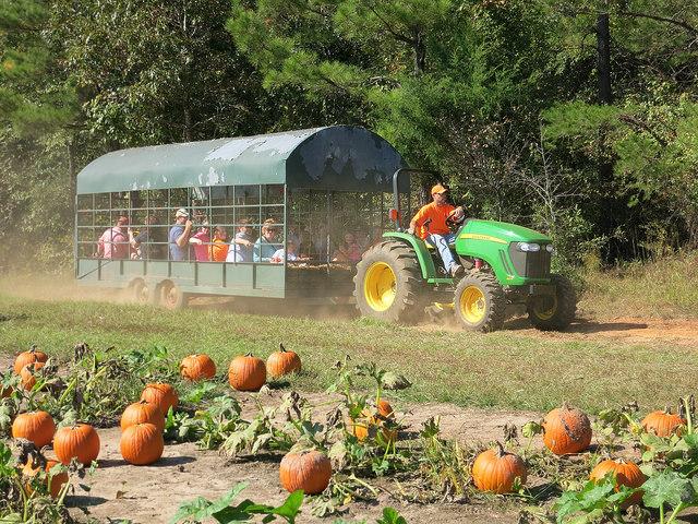 Image of pumpkin in Mississippi pumpkin patch.