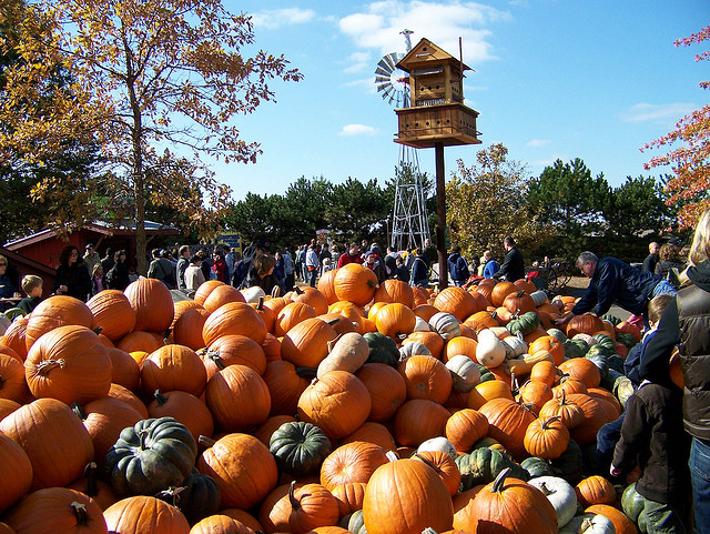 Image of pumpkins at Bengtson's, one of Illinois great pumpkin patches.