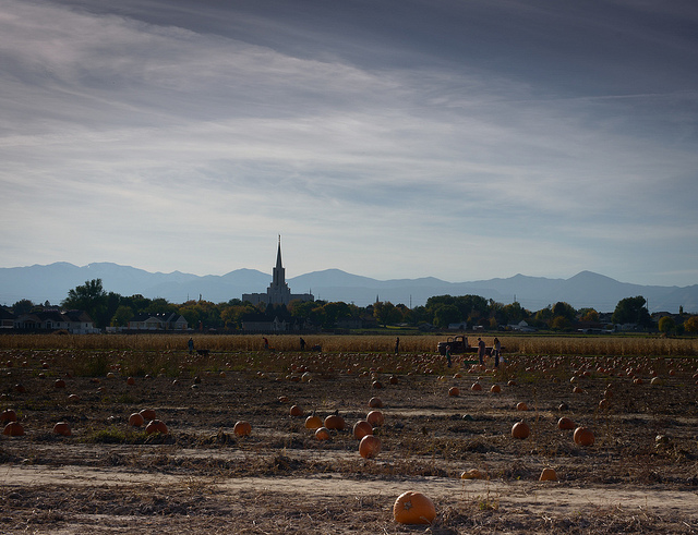 Image of large pumpkins in Utah Pumpkin Patch.
