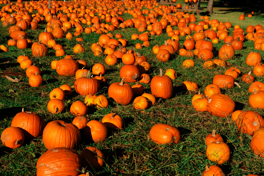 Image of a hundred pumkins at a farm.